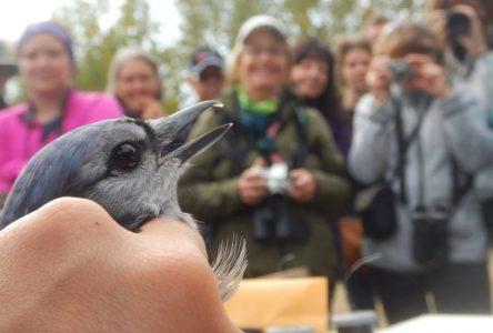 Annulation de la 12e édition du Festival des oiseaux migrateurs de la Côte-Nord