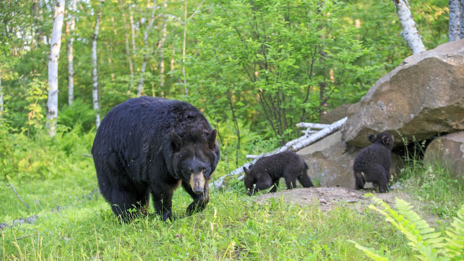 Un randonneur attaqué par un ours aux Bergeronnes