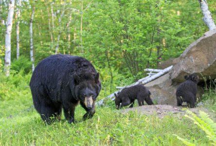 (Mise à jour) Une seconde attaque d'ours aux Bergeronnes