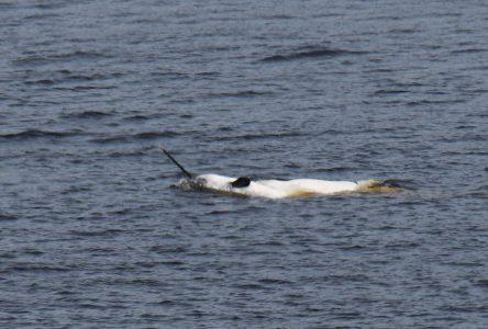Un narval nage dans le Saint-Laurent